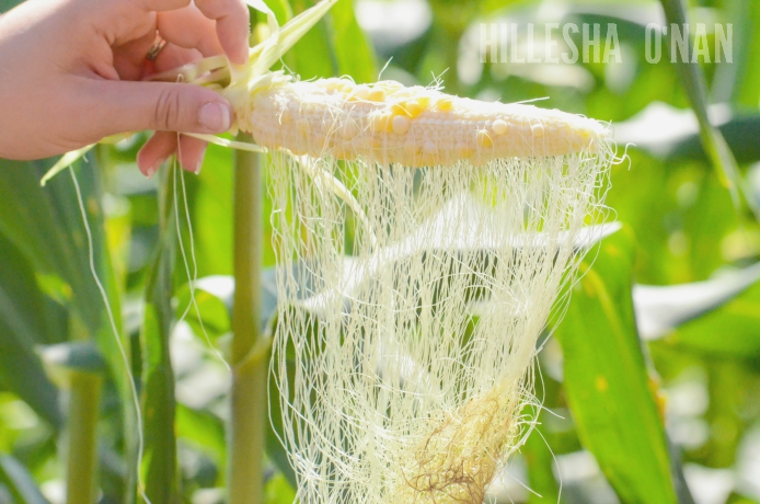 Difference Between Sweet Corn and Field Corn