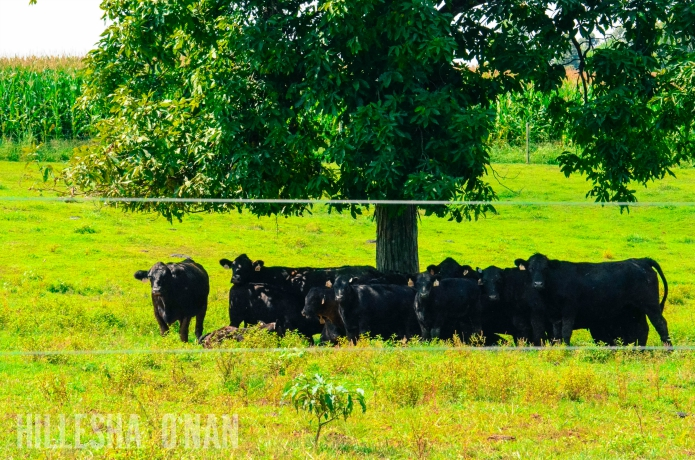 Feutz Cattle Farms in Southern Indiana