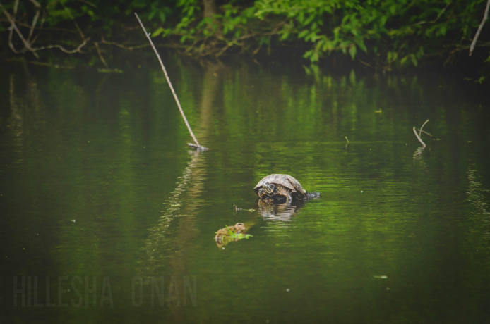 Wesselman Woods Nature Preserve Turtle in the Pond